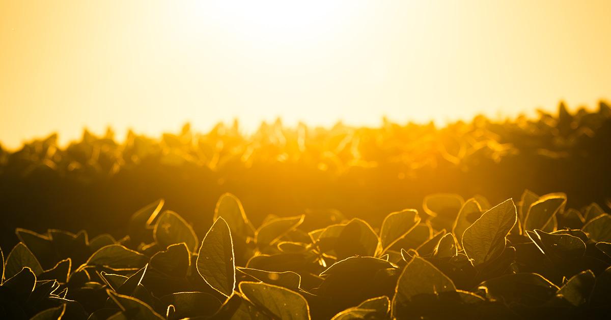 Sun shining on field of crops